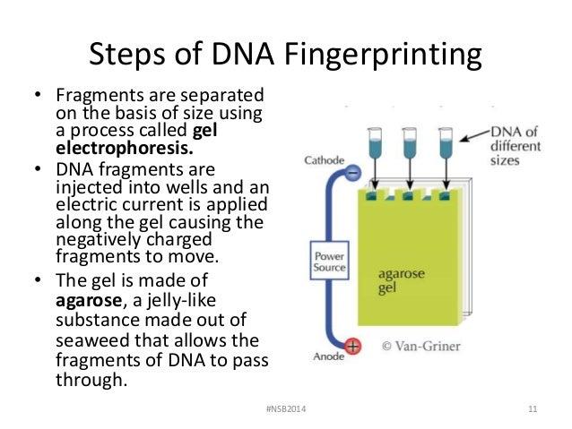 Lab 7 dna fingerprinting and gel electrophoresis fall 2014 nsb2014 10 11 steps of dna fingerprinting ccuart Gallery