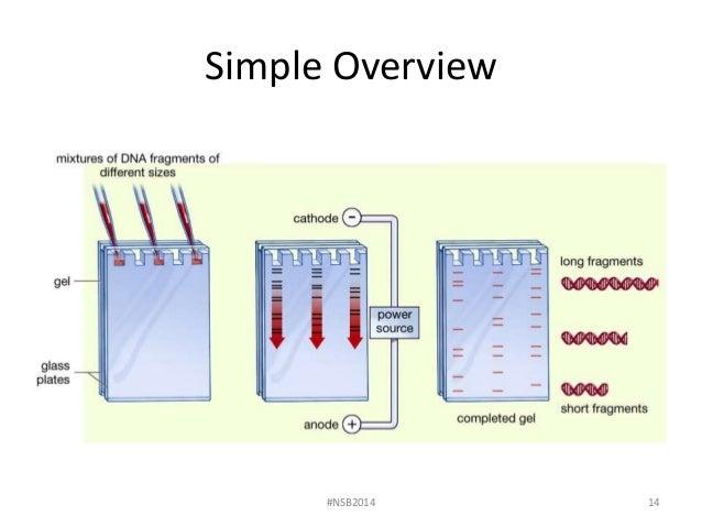 Lab 7 dna fingerprinting and gel electrophoresis fall 2014