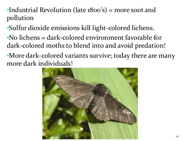 Explain Natural Selection Of Peppered Moths