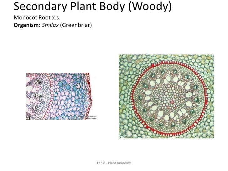 Lab 8 Plant Anatomy