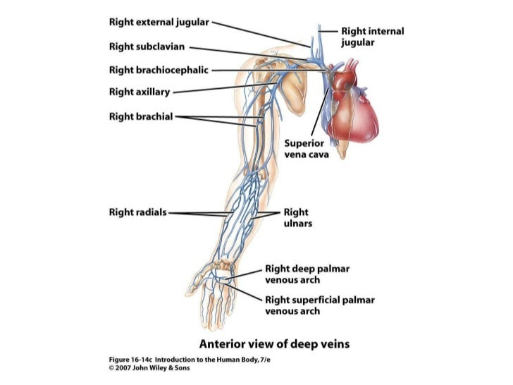 lab 3 the cardiovascular system 18-3 the lymphatic system 1 session 1 lab preview 1 how is your pulse related to your heart _____ 2 why is it important to know.