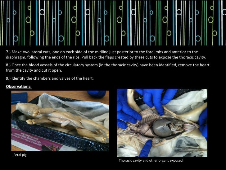 fetal pig dissection observations Essays - largest database of quality sample essays and research papers on fetal pig dissection observations.