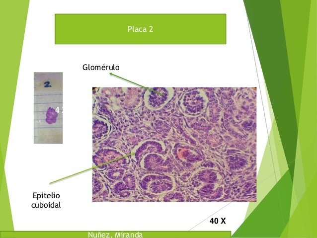 Laboratorio de Histologia Placas Slide 2