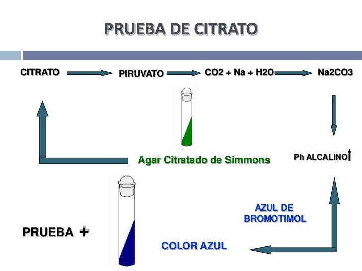 PRUEBA DE CITRATO<br />CITRATO<br />PIRUVATO<br />Na2CO3<br />CO2 + Na + H2O<br />AgarCitratado de Simmons<br />Ph ALCALIN...