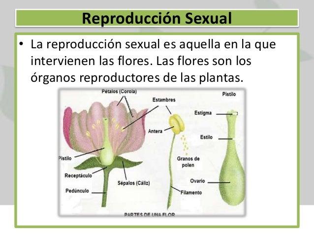 Esparraguera planta reproduccion asexual en