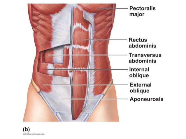 A & P Ch 6 Muscular System Lab quiz study practice abdominal muscles