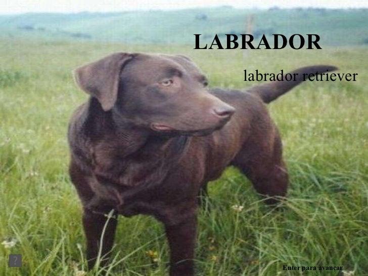 LABRADOR labrador retriever Enter para avançar