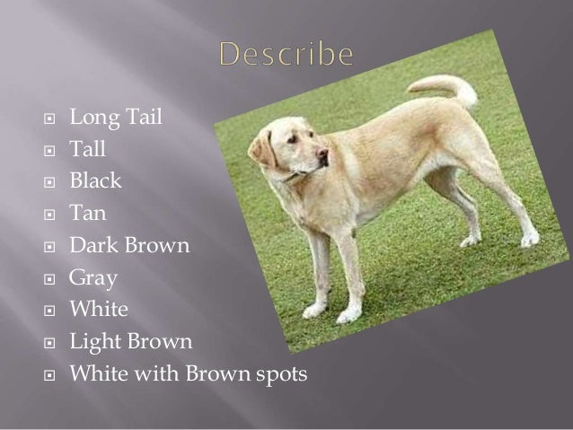 Labrador Retriever Caroline 16