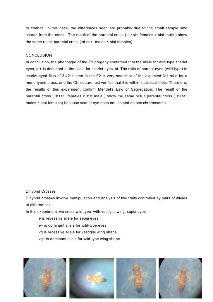 drosophila lab report Genetics lab report - free download as word doc (doc / docx), pdf file (pdf),  text file (txt) or read online for free.