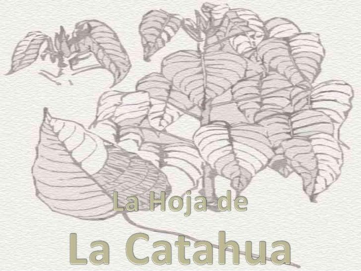 Quién es la Catahua?• Es una planta sagrada de sabiduría• Es un espíritu muy sensual y delicado• Es una puerta a otras pla...