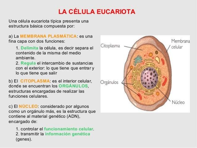 4ºeso La Celula