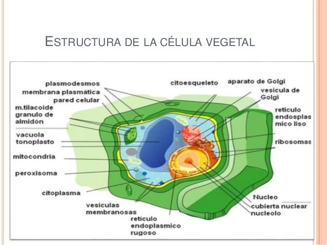 La Célula Vegetal Y Animal