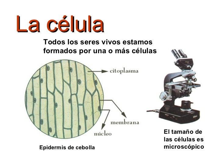 La célula El tamaño de las células es microscópico Todos los seres vivos estamos formados por una o más células Epidermis ...