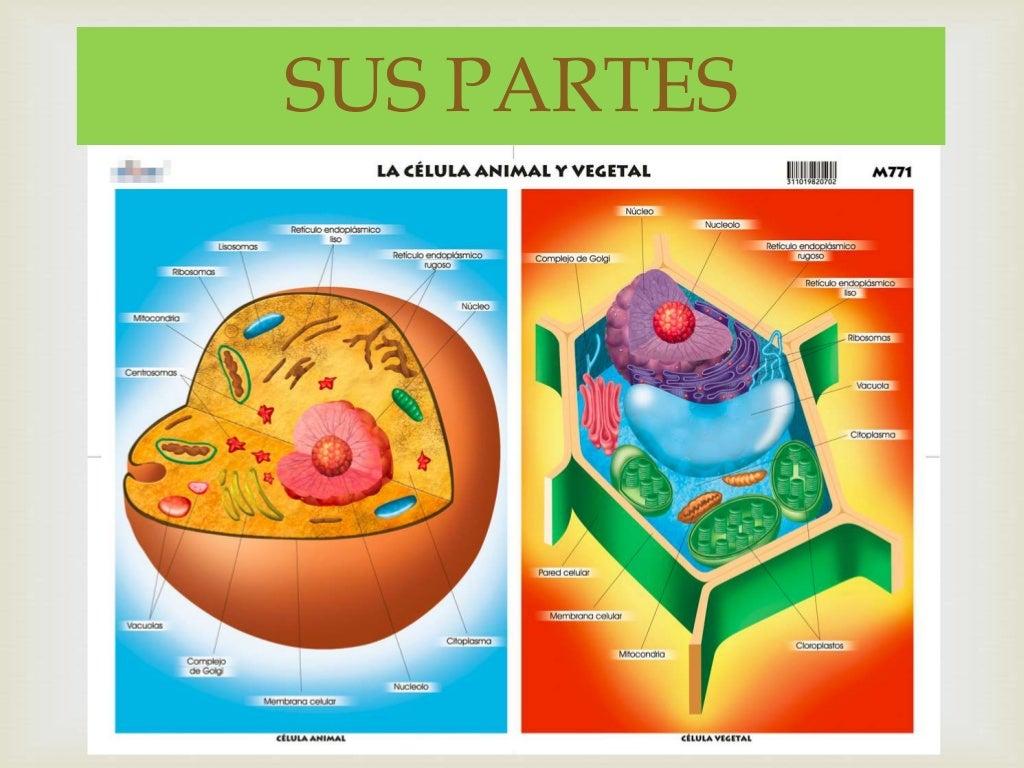 Dibujo Celula Animal Y Vegetal Y Sus Partes Heartfeltblurbs Blogspot Com
