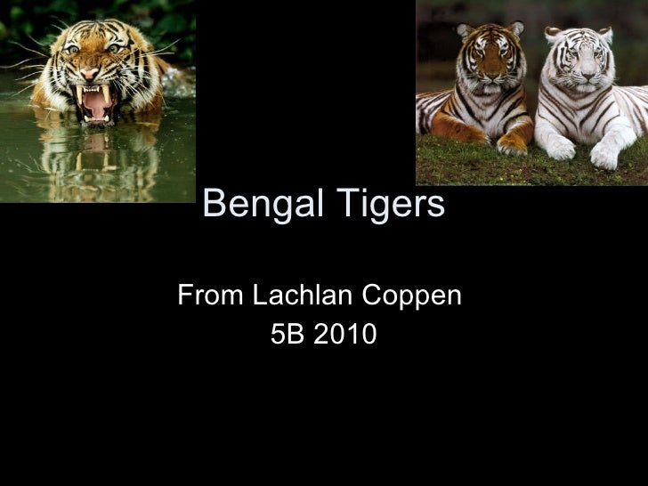 Bengal Tigers From Lachlan Coppen  5B 2010