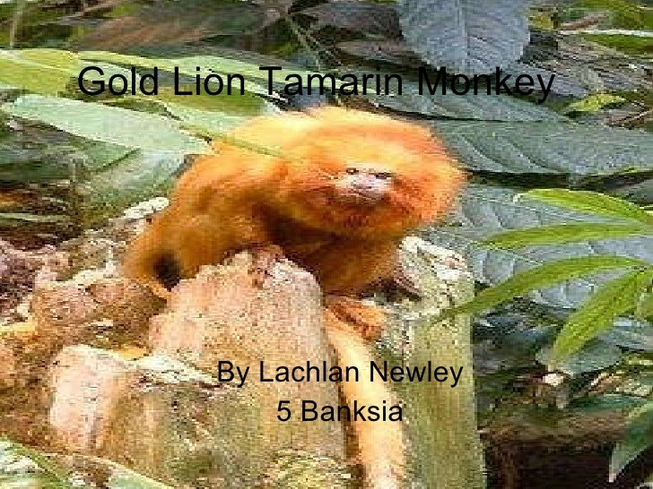 Gold Lion Tamarin Monkey By Lachlan Newley  5 Banksia