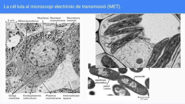 La cèl·lula al microscopi electrònic de transmissió (MET).