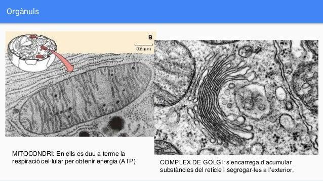 Orgànuls MITOCONDRI: En ells es duu a terme la respiració cel·lular per obtenir energia (ATP) COMPLEX DE GOLGI: s'encarreg...