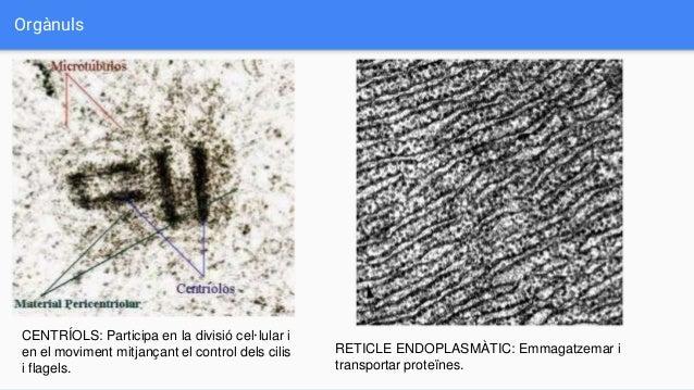 Orgànuls RETICLE ENDOPLASMÀTIC: Emmagatzemar i transportar proteïnes. CENTRÍOLS: Participa en la divisió cel·lular i en el...