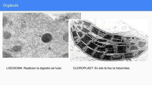Orgànuls CLOROPLAST: En ells té lloc la fotosíntesi.LISOSOMA: Realitzen la digestió cel·lular.