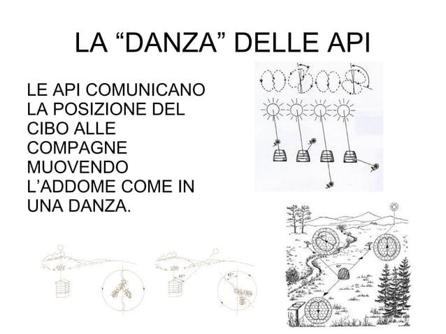 """LE API COMUNICANO LA POSIZIONE DEL CIBO ALLE COMPAGNE MUOVENDO L'ADDOME COME IN UNA DANZA. LA """"DANZA"""" DELLE API"""