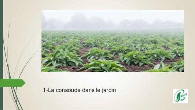 1-La consoude dans le jardin