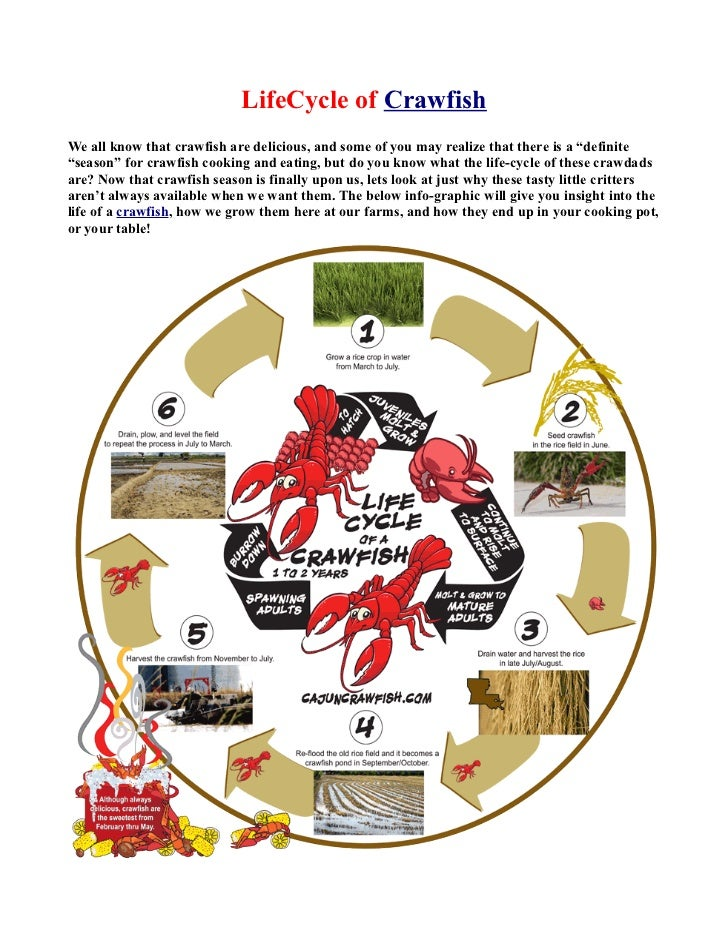 """LifeCycle of CrawfishWe all know that crawfish are delicious, and some of you may realize that there is a """"definite""""season..."""