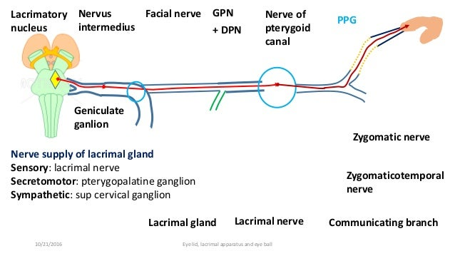 Lacrimal apparatus, eye lid and external features of eye ball.