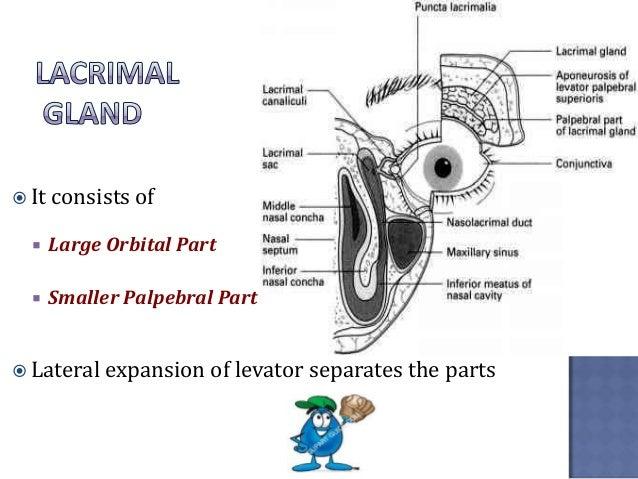 Lacrimal Apparatus Anatomy Diagram Diy Enthusiasts Wiring Diagrams
