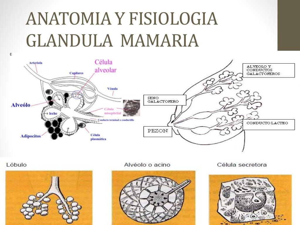 Lactancia materna interrelacion metabolica