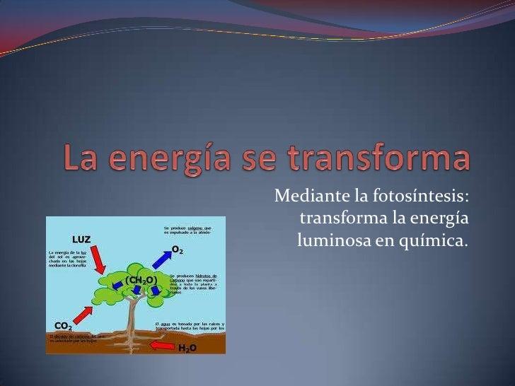 Mediante la fotosíntesis:  transforma la energía  luminosa en química.