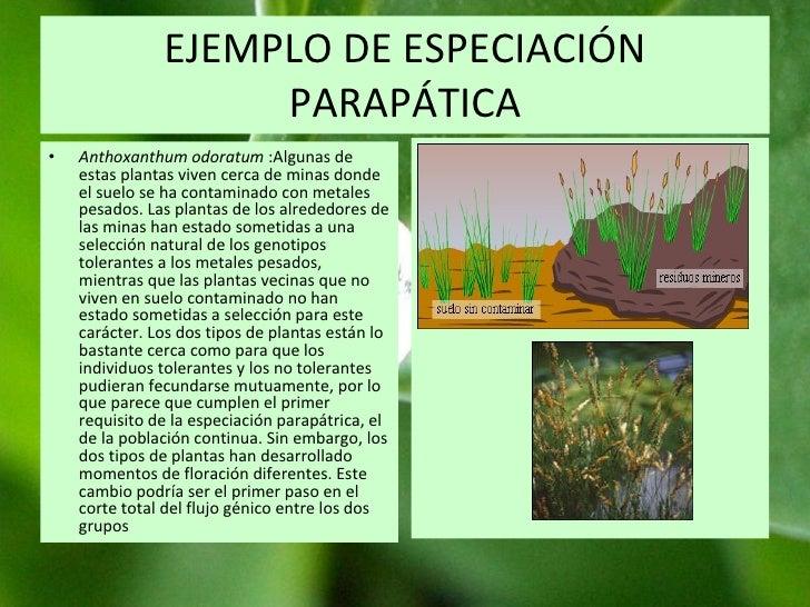 EJEMPLO DE ESPECIACIÓN PARAPÁTICA Anthoxanthum odoratum  :Algunas de estas plantas viven cerca de minas donde el suelo se ...