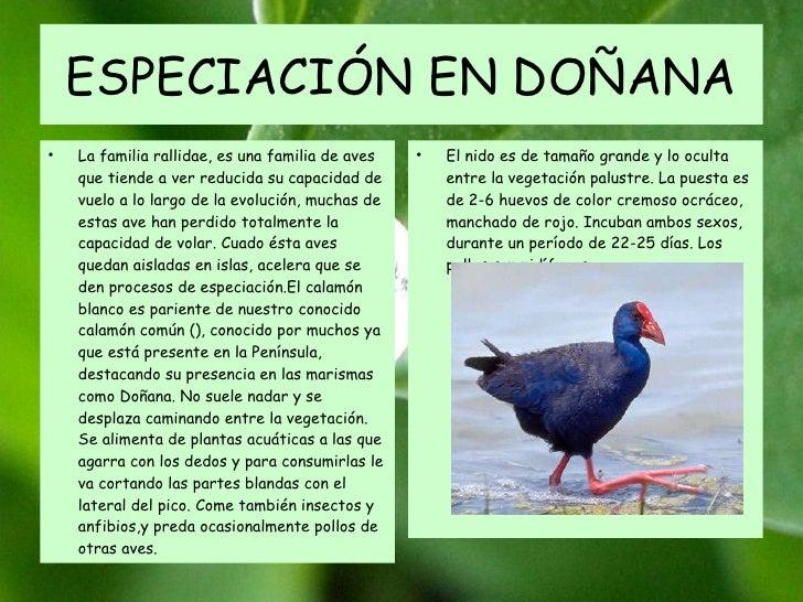 ESPECIACIÓN EN DOÑANA La familia rallidae, es una familia de aves que tiende a ver reducida su capacidad de vuelo a lo lar...