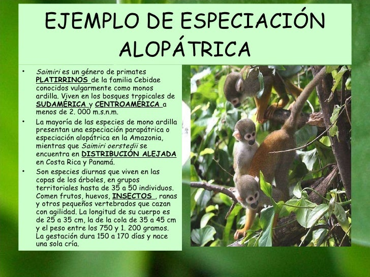 EJEMPLO DE ESPECIACIÓN ALOPÁTRICA Saimiri  es un género de primates  PLATIRRINOS  de la familia Cebidae conocidos vulgarme...