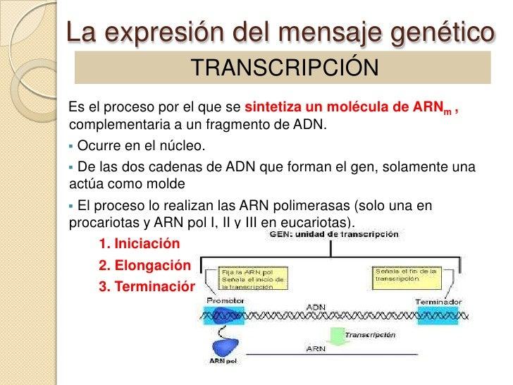 La expresión del mensaje genético                 TRANSCRIPCIÓNEs el proceso por el que se sintetiza un molécula de ARNm ,...