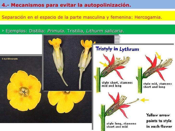 L a f e c u n d a c i n e n l o s v e g e t a l e s 97 2003 for Incompatibilidad en plantas