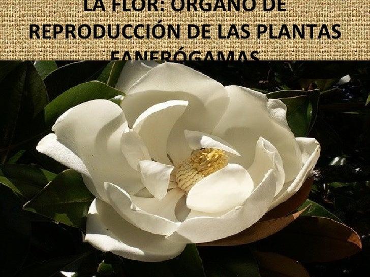 LA FLOR: ÓRGANO DE REPRODUCCIÓN DE LAS PLANTAS FANERÓGAMAS