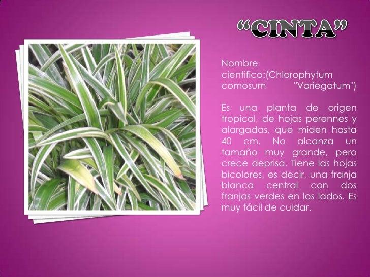 La flora de mi colegio - Cinta planta ...