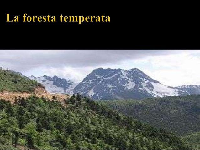 A sud della taiga troviamo la foresta temperata a latifoglie o foresta decidua, che si estende per gran parte dellEuropa, ...