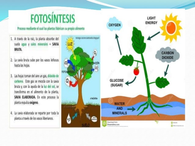 Descripcion del proceso de la fotosintesis 30