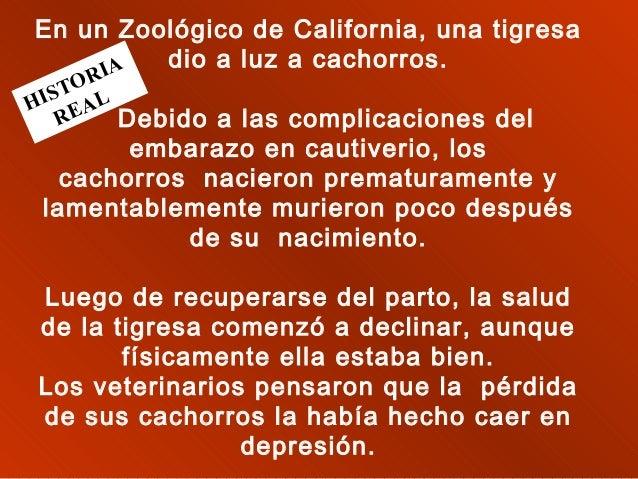 En un Zoológico de California, una tigresa dio a luz a cachorros. IA  OR IST AL H E R Debido a las complicaciones del  e...