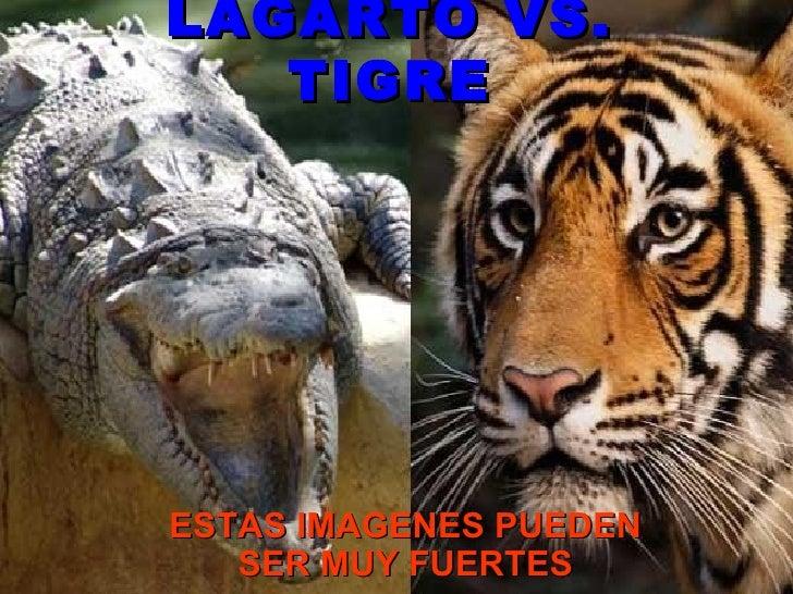 LAGARTO VS. TIGRE ESTAS IMAGENES PUEDEN SER MUY FUERTES