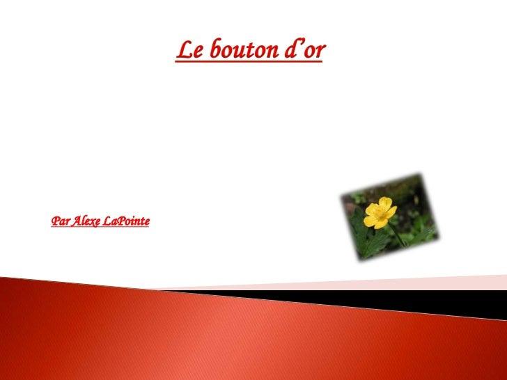 Le bouton d'or<br />Par AlexeLaPointe<br />