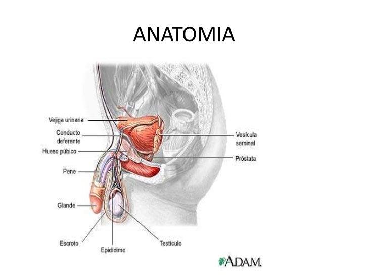 Lujoso Donde Se Encuentra La Glándula Prostática Patrón - Anatomía ...