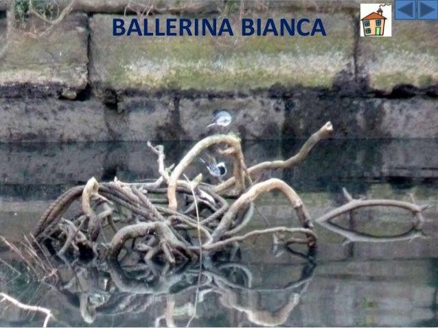 LA BALLERINA BIANCA La Ballerina bianca predilige luoghi in cui siano presenti specchi d'acqua perché qui va a caccia d'in...
