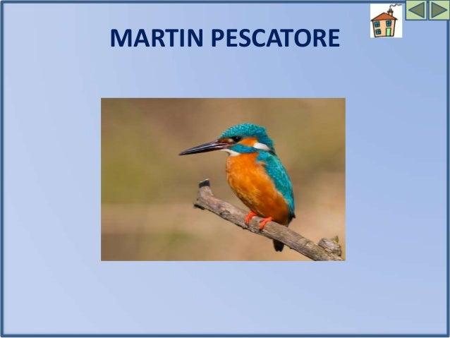 II MARTIN PESCATORE Il martin pescatore ha un lungo becco, ali e coda corti ,le penne sono blu-verde e l'addome color rugg...