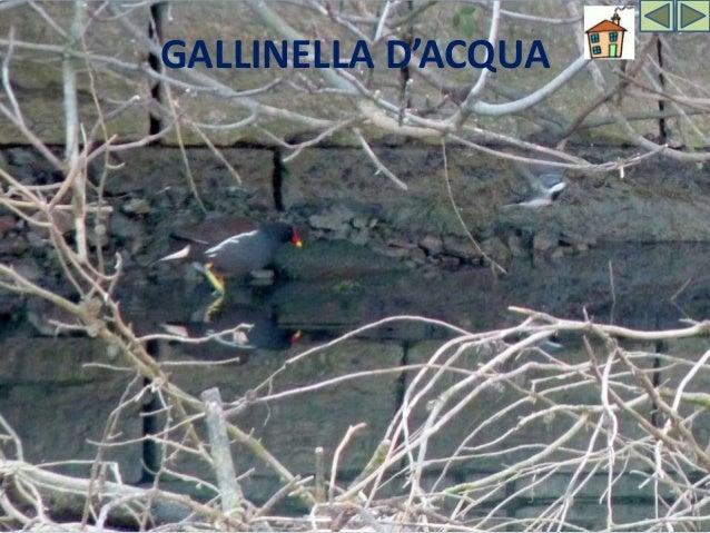 """GALLINELLA D'ACQUA Il nome """"Gallinella d'acqua"""" è dovuto, probabilmente, alla somiglianza di questo uccello con una piccol..."""