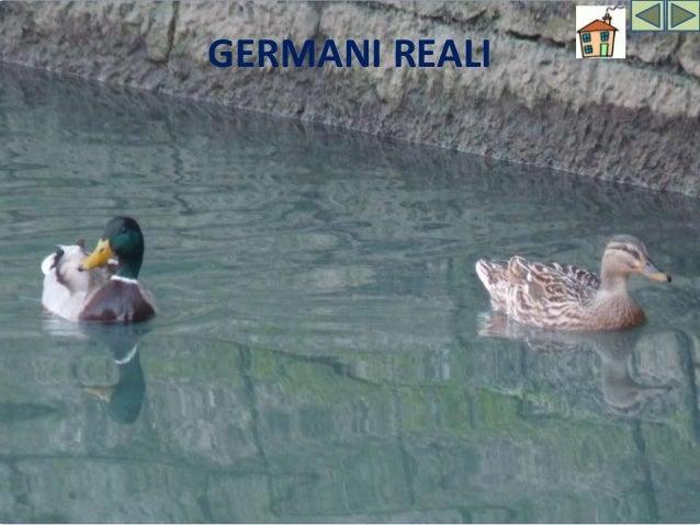 GERMANO REALE Il Germano reale è la più diffusa tra le specie di anatre selvatiche Assai marcate sono le differenze tra i ...