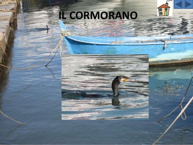 Il CORMORANO Il cormorano presenta un corpo lungo e affusolato, è di colore nero e il suo robusto becco è caratterizzato d...