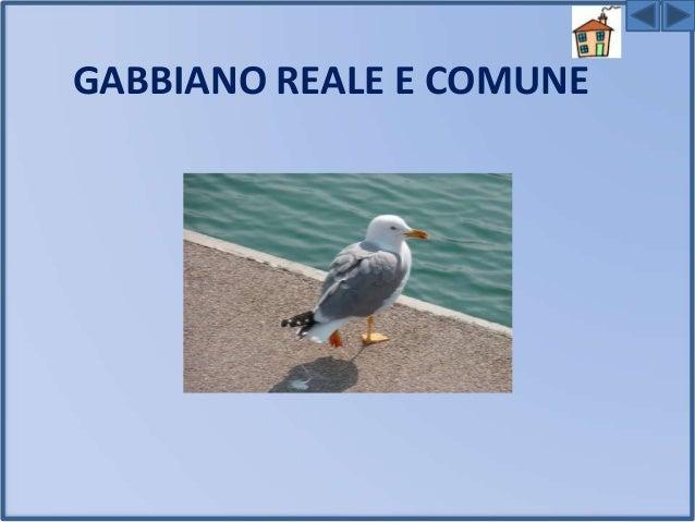 Il GABBIANO REALE E' un uccello di grandi dimensioni , ha il becco giallo robusto,curvato in basso. Le ali sono grigie,in ...
